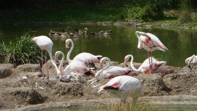 Flamingo by santa-qween