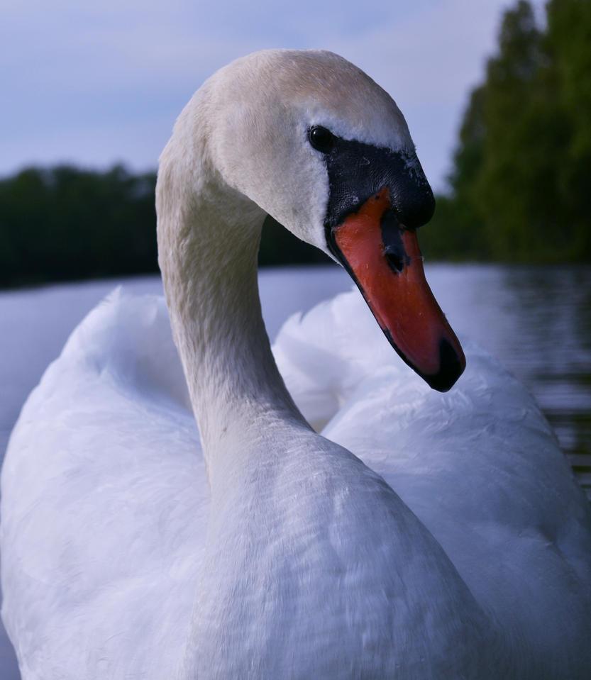 Swan Portrait by TeKNoMaNiaCH