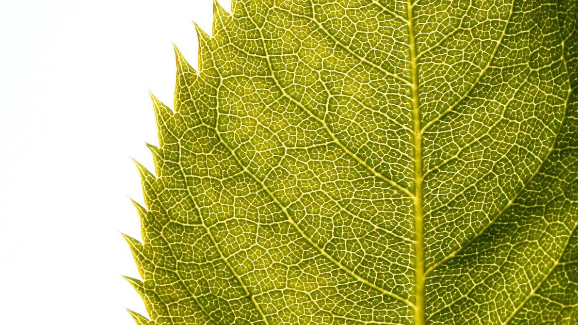 Leaf HD Wallpaper > fondos 1080p HD