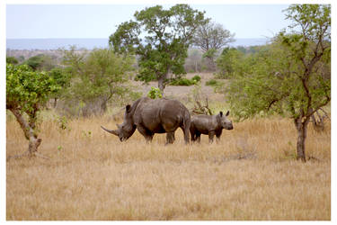 Rhino family in the Kruger