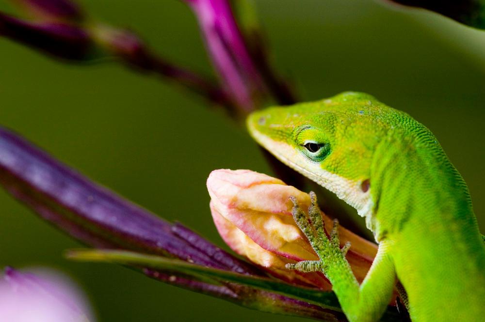 lizard by jwischka