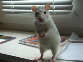 Scratch-My second rat by BlackDr4gon