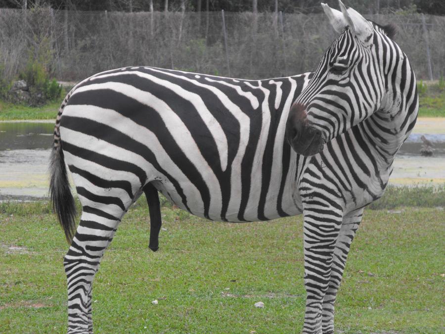 madagascar zebra - photo #38