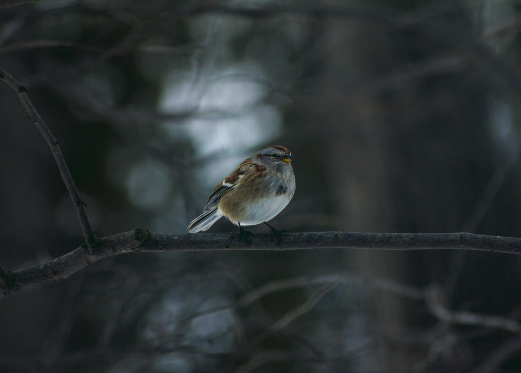Male American Tree Sparrow by ViridianRoses