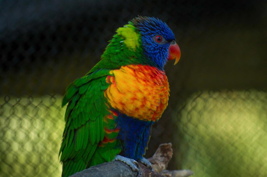 Rainbow Lorikeet by ViridianRoses