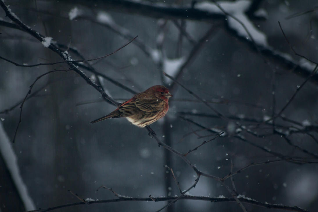 Male Purple Finch by ViridianRoses