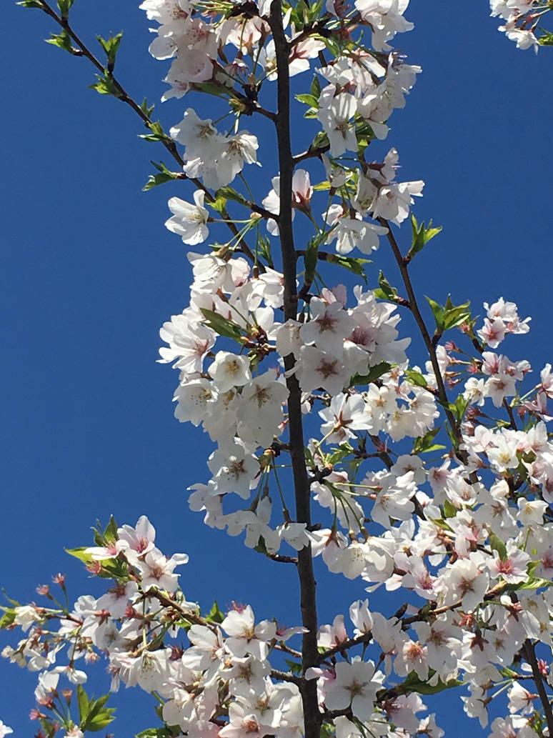 Sakura, Reaching Skyward