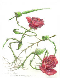 War of the Roses.