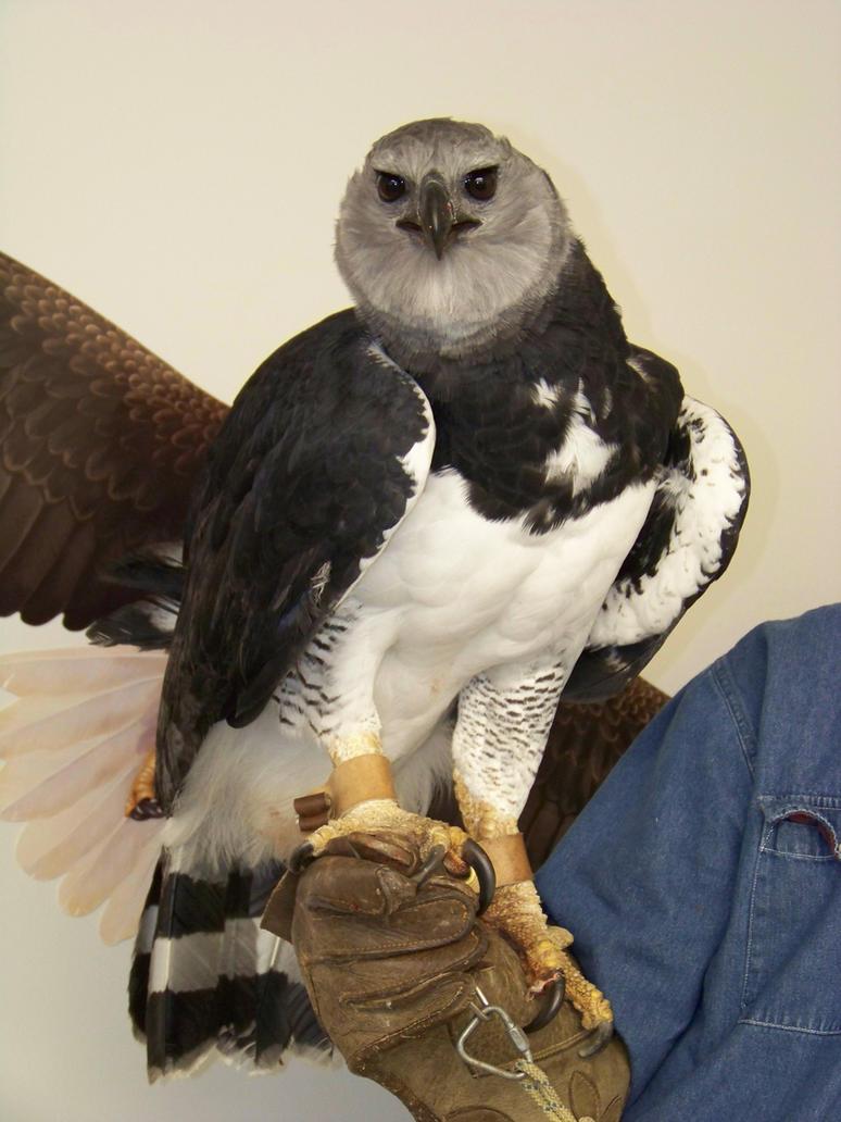 Comparação do tamanho de águias  com relação ao homem. Harpy_eagle_by_concaholic