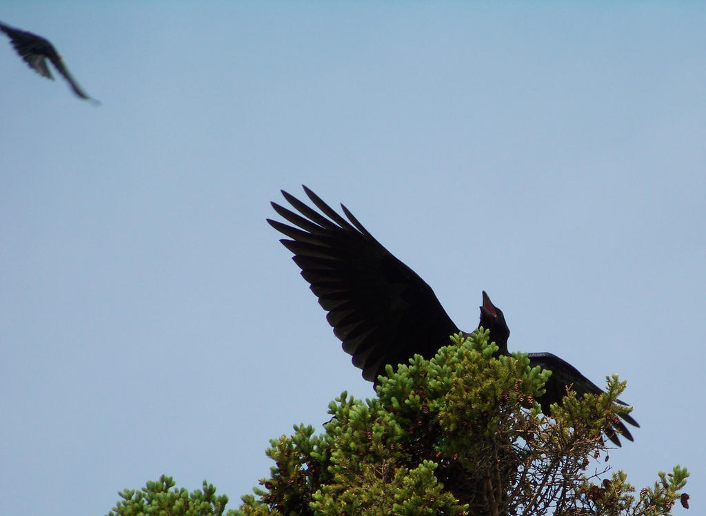 Red-winged blackbird vs. raven by concaholic