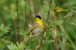 Common Yellowthroat by concaholic