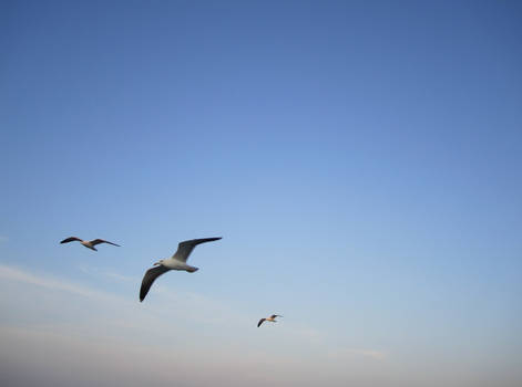 Flying with the gulls 3