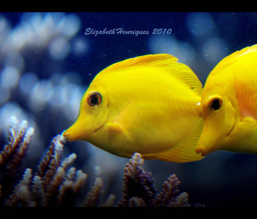 Yellow tang fish by mariquasunbird1 on deviantart for Yellow tang fish