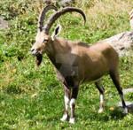 Mountain Goat stock