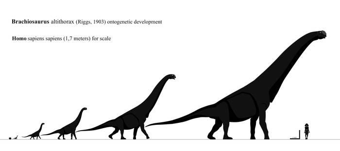 Brachiosaurus altithorax Ontogeny