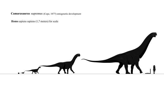 Camarasaurus supremus Ontogeny