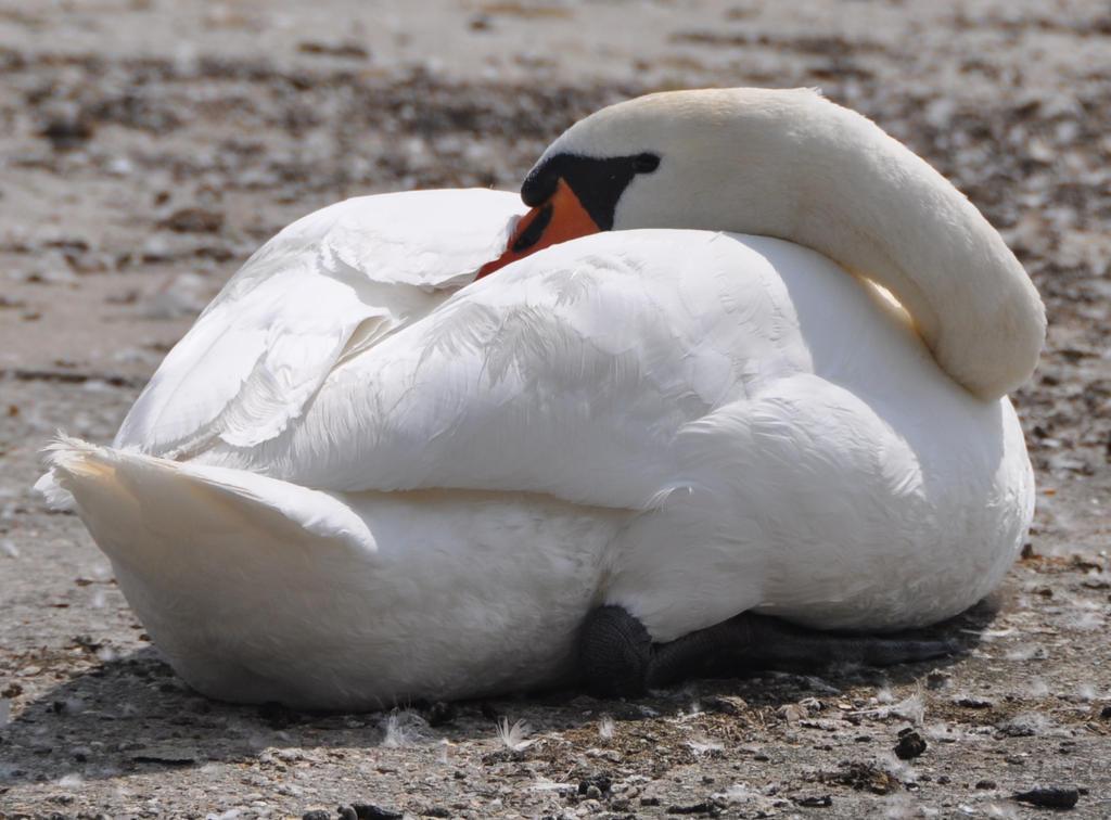 Sleeping Swan by Brokenstone2