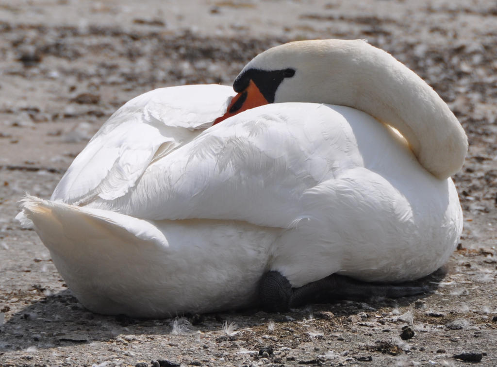 The Sleeping Swans >> Sleeping Swan By Brokenstone2 On Deviantart