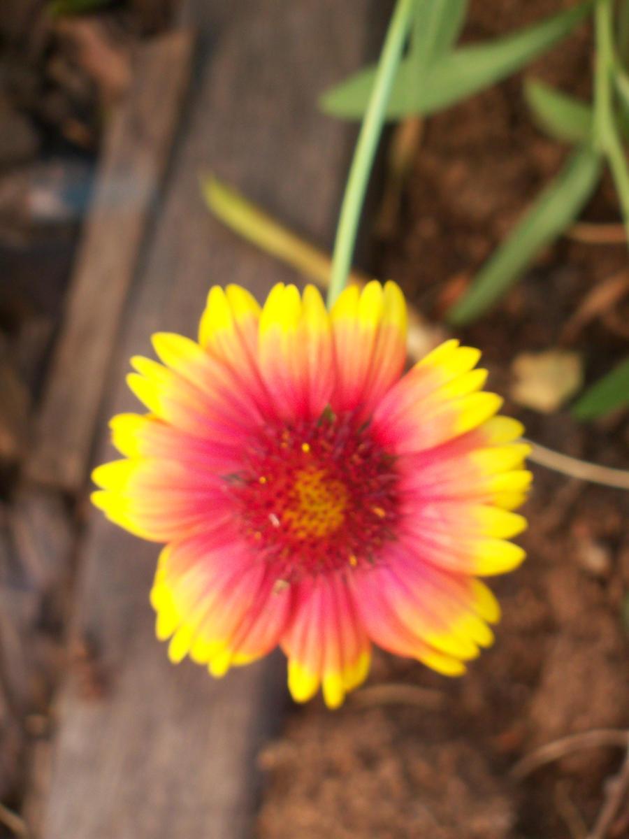 Sunburst by firebutterfly-narya