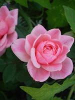 Little pink rose by gsdark-stock