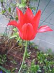 Red tulip again