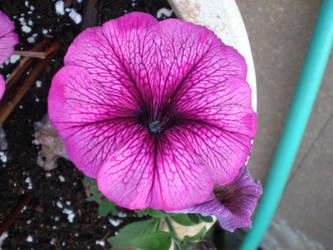 Petunia by gsdark-stock