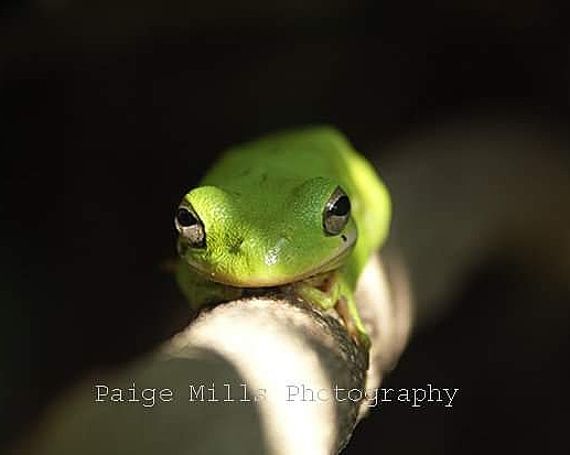 Green Tree Frog by PaigeMillsArt