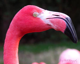 Flamingo II by PaigeMillsArt