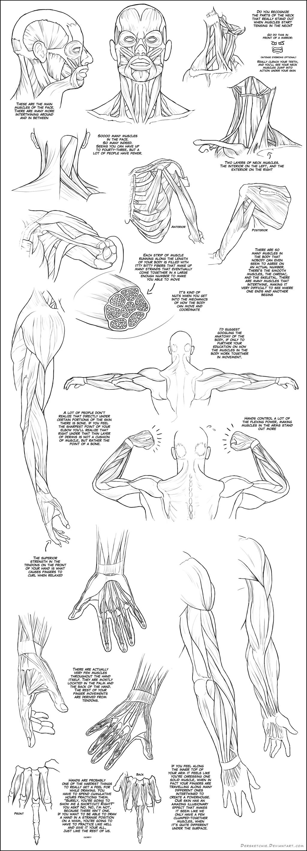 Upper Body Muscle Tutorial by DerSketchie on DeviantArt