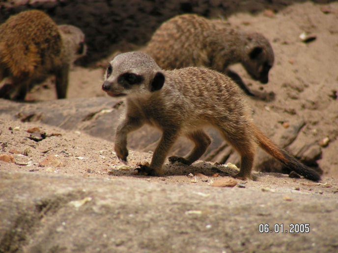 ...Meerkat... by xoniac