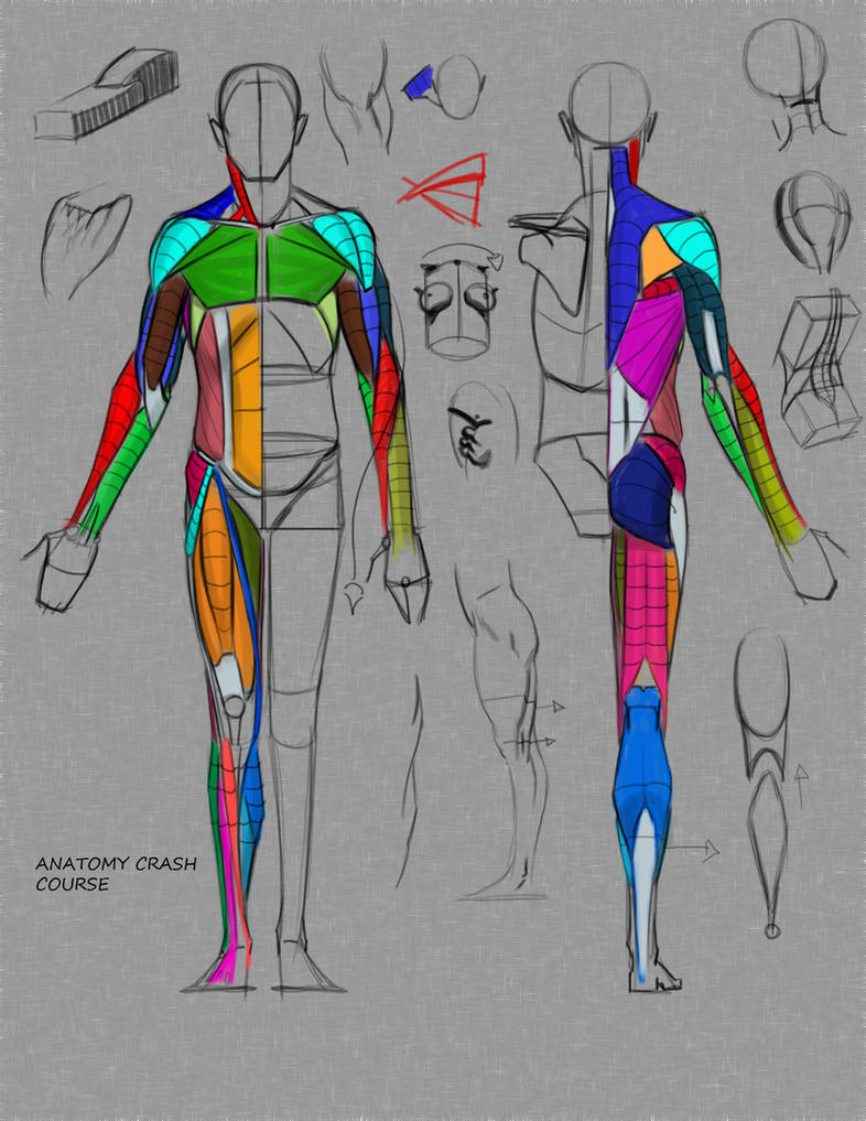 Anatomy Crash Course by FUNKYMONKEY1945 on DeviantArt