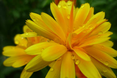 Marigold 2 by AenagGaz