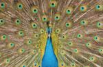 PeacockI