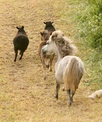 I hate sheep