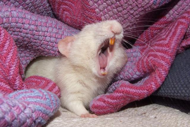 Pocket Rat Yawns by LadyShamisen