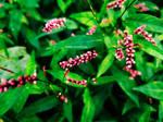 Persicaria longiseta(s) [Revamped] by BadSkys