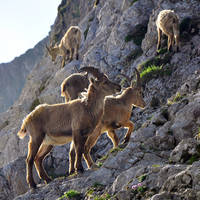 Ibexes by alban-expressed