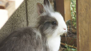 Mimzy the lionhead (21 weeks old) by SpirityTheDragon