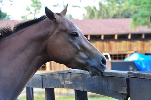 Chestnut Quarter Horse Headshot