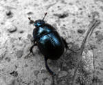 Dung Beetle by suphafly