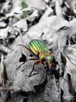 Carabus Auronitens by suphafly