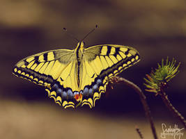 Yellow Swallowtail Butterfly II