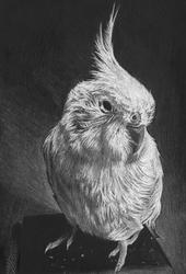 Spike the Cockatiel