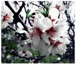 Almond flower - edited