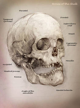 School anatomy studies: Skull