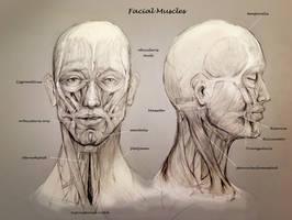 School anatomy studies: Muscles face