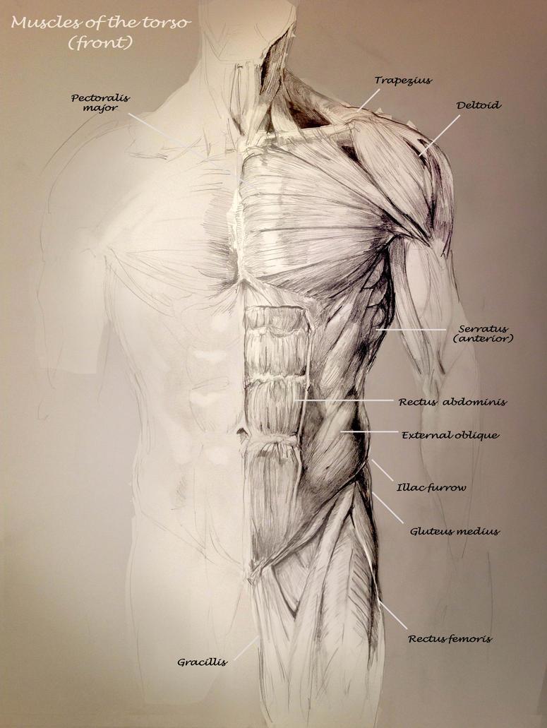 Attractive Anatomy Of The Abdomen Muscles Festooning Human Anatomy