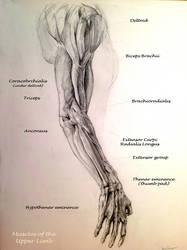 School anatomy studies: arm muscles