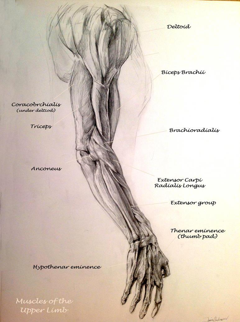 School Anatomy Studies Arm Muscles By Travis Anderson On Deviantart