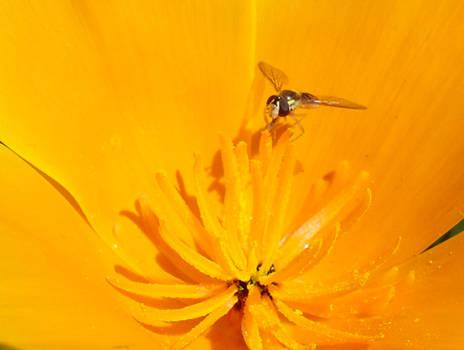 Photo: Fly on Poppy Flower Macro